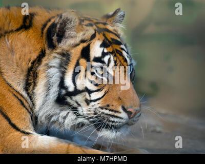 Sumatran tiger  Panthera tigris sondaica Captive zoo photograph - Stock Photo