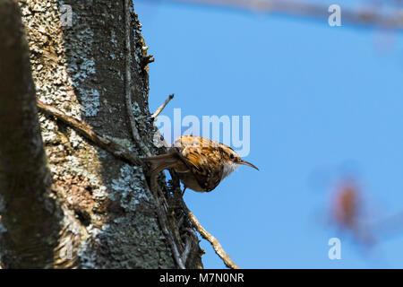 Eurasian treecreeper Certhia familiaris on tree trunk Winnall Moors Hampshire and Isle of Wight Wildlife Trust Reserve - Stock Photo