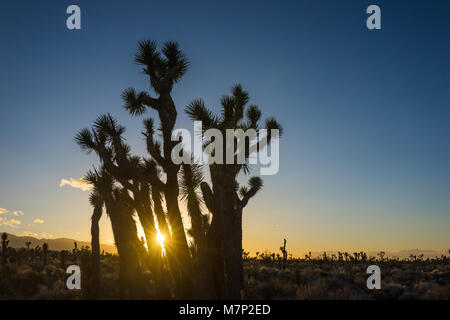 Sunlight shines between stands of Joshua Trees growing in the Mojave Desert of California. - Stock Photo