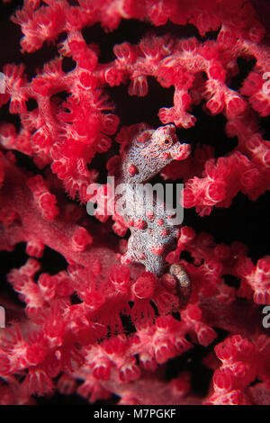 Pygmy seahorse (Hippocampus bargibanti) on seafan (Muricella paraplectana), Lembeh Strait, Celebes Sea, Sulawesi, - Stock Photo