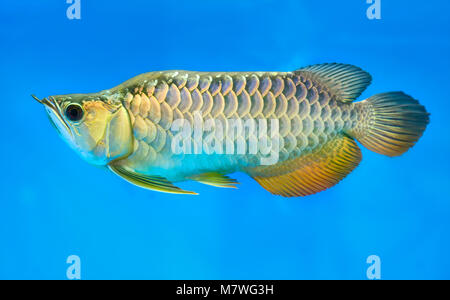 Arowana in aquarium, this is a favorite fish with long body, beautiful dragon shape colorful for decoration in the - Stock Photo