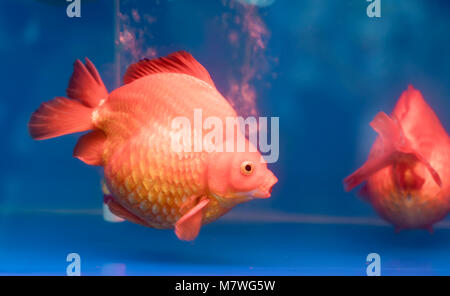 One of most popular pet ornamental fish is goldfish or Carassius auratus, Family Cyprinida. Ranchu or lionhead goldfish - Stock Photo