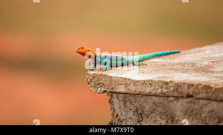 Kenyan Rock Agama (Agama lionotus) resting on stone tile in Ngutuni Safari Lodge, Kenya - Stock Photo