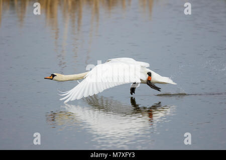 Close up of wild mute swan (Cygnus olor) taking off from water. Neck outstretched, large impressive wings in downward - Stock Photo