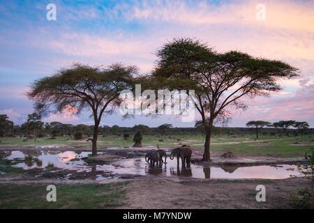 Elephants drinking at a waterhole at sunset. - Stock Photo