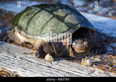 Snapping Turtle (Chelydra serpentina) at Pondicherry Wildlife Refuge along the Cohos Trail in Jefferson, New Hampshire - Stock Photo