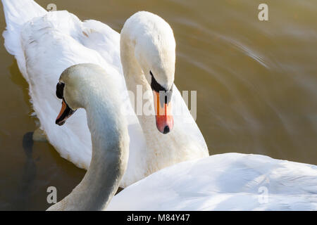 A pair of mute swans (cygnus olor), swimming on a lake on a sunny winters morning, Creekmoor ponds, Dorset, United - Stock Photo
