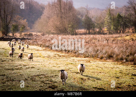 A flock of sheep on an early spring morning in the Rusland Valley, Cumbria. - Stock Photo