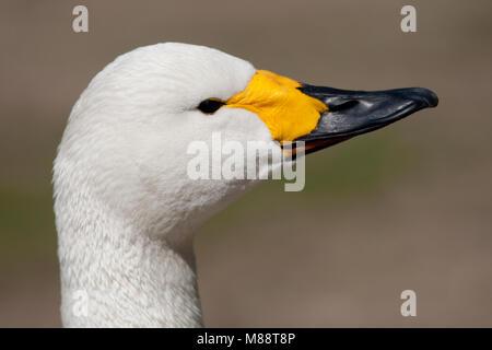 Kleine Zwaan close-up; Bewick's Swan close up - Stock Photo