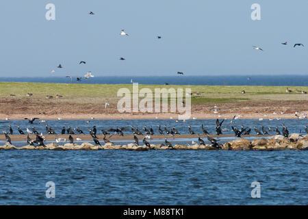 Broedende Aalscholvers op het eilandje Kreupel; Breeding Greater Cormorants on Kreupel, IJsselmeer - Stock Photo