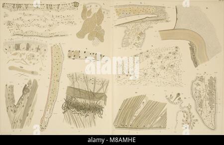 Die Mytiliden des Golfes von Neapel und der angrenzenden Meeres-Abschnitte, I. Teil (1902) (20908333546) - Stock Photo