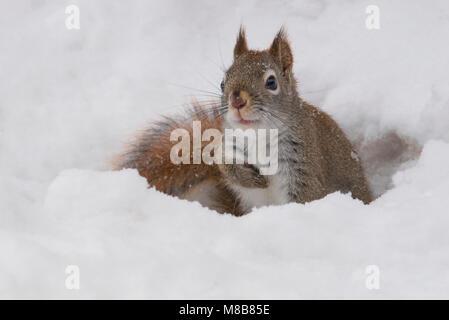 American Red Squirrel (Tamiasciurus hudsonicus), Winter, E USA, by Skip Moody/Dembinsky Photo Assoc - Stock Photo