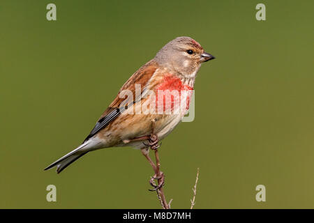 Adult Linnet male in full color perched on fragile twig - Stock Photo