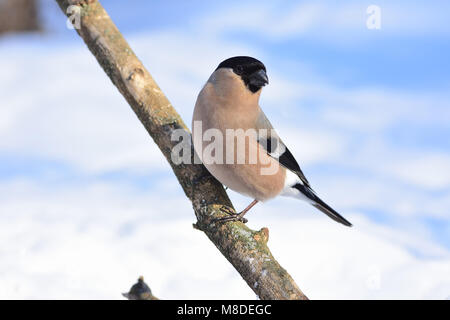 Female of eurasian (common) bullfinch (Pyrrhula pyrrhula) posing on a thick branch. - Stock Photo