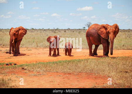 Family of four african bush elephants (Loxodonta africana) covered with red dust and soil walking on savanna spotted - Stock Photo