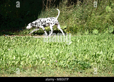 Dalmatian dog running - Stock Photo