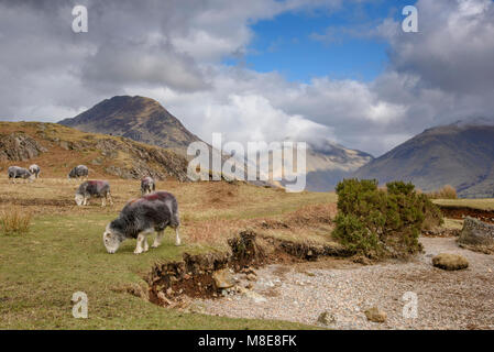 Herdwick ewes, Wast Water, Wasdale, Cumbria, Lake District National Park, England. - Stock Photo