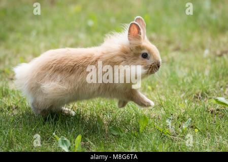 Baby Lionhead Rabbit (Bunny) runs on grass - Stock Photo
