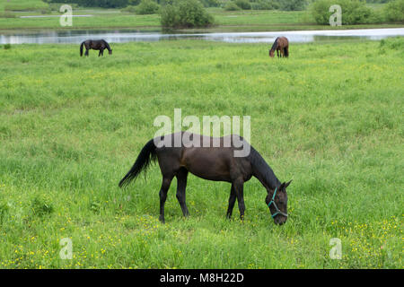 Beautiful elegant stallion sporting breed bridle with braided mane walks step on a background of green field . - Stock Photo