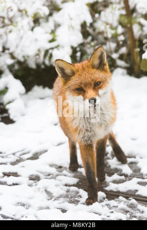Bournemouth, Dorset, UK. 18th March 2018. UK weather: urban fox, Vulpes Vulpes, looking for food in the snow in - Stock Photo