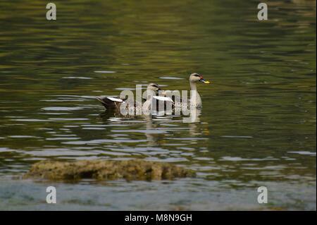 Indian Spot-billed Ducks near Sangli, Maharashtra, India - Stock Photo