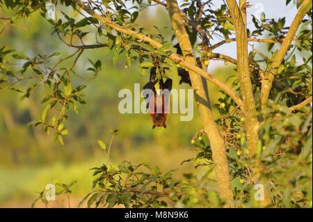 Indian Flying Fox, Pteropus giganteus hanging upside down from a tree near Sangli, Maharashtra, India - Stock Photo