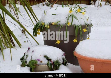 Snow covering spring flowers in garden pots - Stock Photo