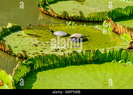 Two turtels are sitting on large leaves of water lilies, floating on the water - Stock Photo