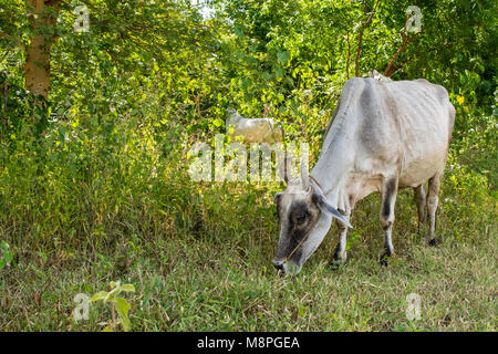 A white zebu cow feeding on grass on the side of a rural countryside road in Bagan, Myanmar, Burma, South East Asia. - Stock Photo