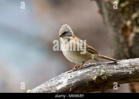 Roodkraaggors op een tak; Rufous-collared Sparrow perched on a branch - Stock Photo