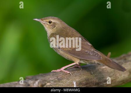 River Warbler - Schlagschwirl - Locustella fluviatilis, Hungary, adult - Stock Photo
