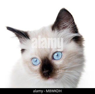 Closeup of an 11 weeks old Seal point mitted ragdoll kitten - Stock Photo