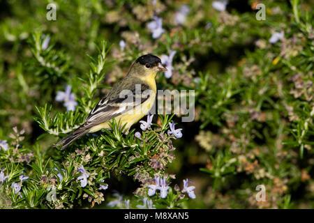 Witbandsijs mannetje zittend in struik; Lesser Goldfinch male perched in bush - Stock Photo