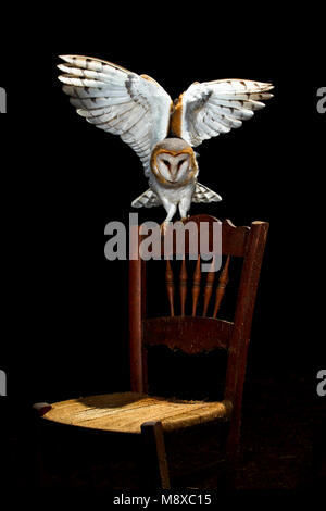 Kerkuil zittend op een stoel; Common Barn Owl (Tyto alba) perched on a chair - Stock Photo