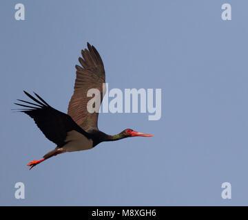 Volwassen Zwarte Ooievaar in de vlucht; Adult Black Stork in flight - Stock Photo