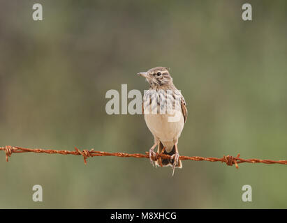 Kuifleeuwerik zittend; Crested Lark perched - Stock Photo