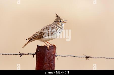Kuifleeuwerik zingend; Crested Lark singing - Stock Photo
