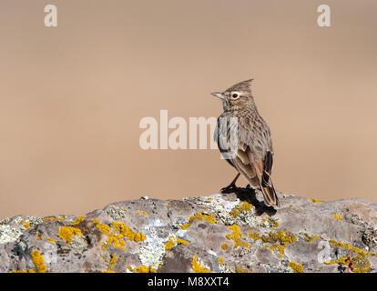 Kuifleeuwerik, Crested Lark, Galerida cristata - Stock Photo