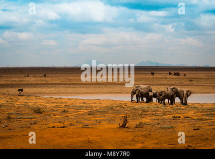 Elephants near a water basin in Tsavo park in Kenya, an ostrich looks this animals in Arica - Stock Photo