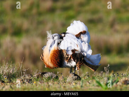 Great Bustard in Spain - Stock Photo