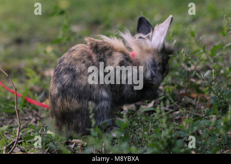 Pet dwarf rabbit cleaning her face outdoors on the grass. - Stock Photo