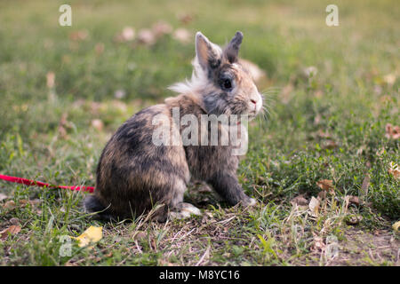 Pet dwarf rabbit on the grass, outdoors on a rope, observing, exploring. - Stock Photo