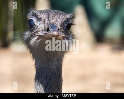 Ostrich Face Looking at Camera, Close Up Ostrich Head - Stock Photo