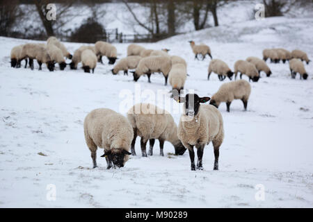 Black faced sheep in snow covered field, Chipping Campden, Cotswolds, Gloucestershire, England, United Kingdom, - Stock Photo
