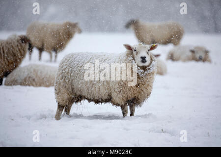 White texel sheep covered in snow and standing in field of snow, Burwash, East Sussex, England, United Kingdom, - Stock Photo