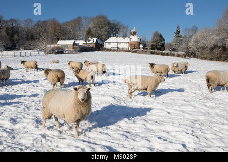 Former oast house with sheep in snow covered field taken from public footpath, Burwash, East Sussex, England, United - Stock Photo