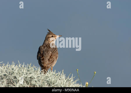Kuifleeuwerik zittend op struikje Lesbos Griekenland, Crested Lark perched at scrub Lesvos Greece - Stock Photo