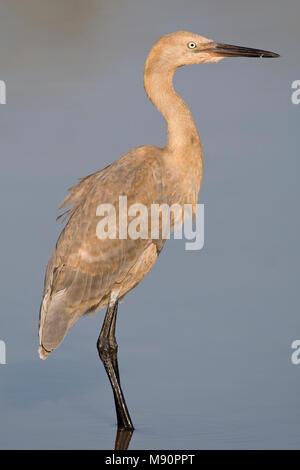 Roodhalsreiger juveniel Mexico, Reddish Egret juvenile Mexico - Stock Photo