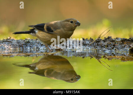 Goudvink jong reflectie op water; Bullfinch juvenile reflection on water; - Stock Photo
