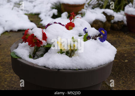 Snow on spring flowers in plant pot in garden setting - Stock Photo